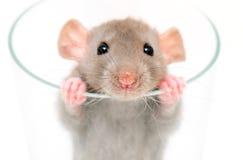 Dumbo Ratte Lizenzfreie Stockfotos