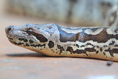 Dumeril's boa Royalty Free Stock Image