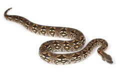 Dumeril's Boa (Boa dumerili) Royalty Free Stock Photography