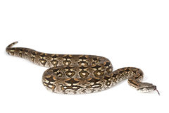 Dumeril's Boa (Boa dumerili) Royalty Free Stock Photos