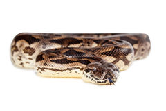 Dumeril's Boa Snake Coiled Tongue Out Stock Photography