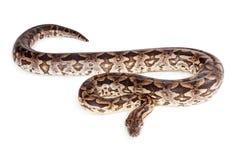 Dumeril's Boa Snake  on White Royalty Free Stock Photo