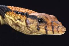 Dumeril's monitor (Varanus dumerili) Royalty Free Stock Images