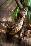 Dumeril snake Stock Photo