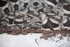 Dumerils Ground Boa Royalty Free Stock Images