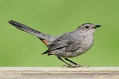 灰色猫声鸟(Dumetella carolinensis) 库存照片