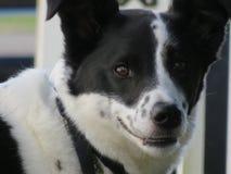 Dummer Border collie-Mischungsköter, der verschlagen lächelt Stockbild