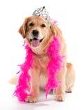 Dummer goldener Apportierhund Lizenzfreie Stockfotos