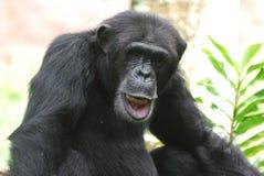 Dummer Schimpanse, der mit seiner Lippe zeigt seine Zähne spielt Lizenzfreie Stockfotos