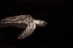 Dummkopf-Seeschildkröte Lizenzfreie Stockfotografie