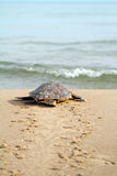 Dummkopf-Seeschildkröte (Caretta Caretta) Stockfoto