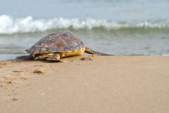 Dummkopf-Seeschildkröte (Caretta Caretta) Stockbilder