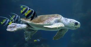 Dummkopfmeeresschildkröte mit Rifffischen Lizenzfreies Stockfoto