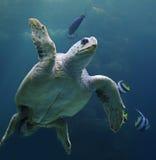 Dummkopfmeeresschildkröte mit Rifffischen 02 Stockfotos