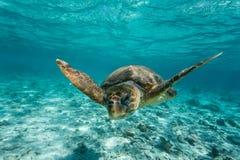 Dummkopfmeeresschildkröteschwimmen auf Riff Stockbild