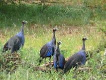 DummkopfPerlhuhn. Samburu. (Acryllium-vulturinum). Lizenzfreies Stockfoto