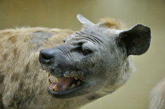 Dummy of african hyena. Close-up portrait of Dummy of african hyena Royalty Free Stock Photo