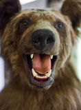 Dummy face of brown bear. Stock Images