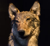 Dummy face of gray wolf. Dummy face of gray wolf on black background Royalty Free Stock Photos