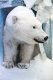Dummy face of polar bear. Stock Images