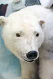 Dummy face of polar bear. Stock Photos