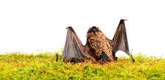 Dummy of wild bat on grass. Wild nature. Forelimbs adapted as wings. Mammals naturally capable of true and sustained. Flight. Bat emit ultrasonic sound to royalty free stock photography