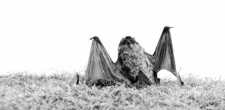 Dummy of wild bat on grass. Wild nature. Forelimbs adapted as wings. Mammals naturally capable of true and sustained. Flight. Bat emit ultrasonic sound to stock images