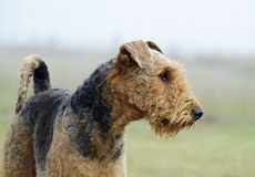 Dumna zarodowa przedstawienie mistrza Airedale Terrier wczesnego poranku trwanie mgła Fotografia Stock
