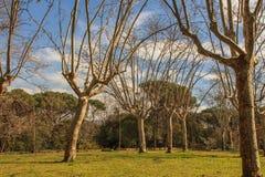Dumni drzewa z długimi rękami Obrazy Stock
