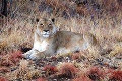 Dumny żeński lew w sawannie Namibia Obraz Royalty Free