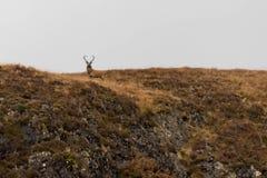 Dumny jeleń w Szkockich średniogórzach zdjęcie royalty free