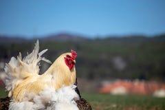 Dumny kogut chodzi na zielonym polu w poszukiwaniu jedzenia fotografia royalty free