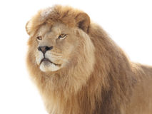dumny lew obrazy stock