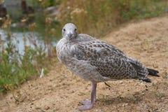 Dumny przyglądający seagull fotografia stock
