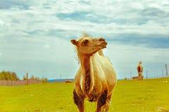Dumny wielbłąd Zdjęcia Royalty Free