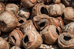 Dump old dry coconuts. Waiting for the queue to burn. Close-up, brown tones. Natural textures. Empty waste coconuts.  stock photo