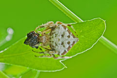 Dump spider with prey Stock Images