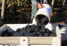 Dumping Bucket of Grapes royalty free stock images
