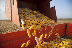 Dumping the corn cobs Royalty Free Stock Photo