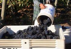 Dumping della benna dell'uva Immagini Stock Libere da Diritti