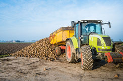 Dumping sugar beats on a heap. A yellow dumper pulled by a tractor dumps sugar beets on a heap beside the field awaiting transport to the sugar factory royalty free stock photography