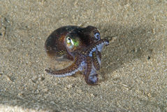 Dumpling squid. Dumpling or bob-tail squid showing aggressive behavior when disturbed from its resting in the sand Royalty Free Stock Photography