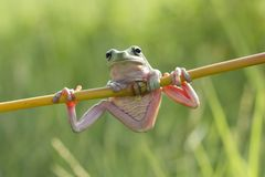 Tree frog, dumpy frog, frogs. Dumpy frog closeup on branch Royalty Free Stock Photos