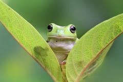 Tree frog, dumpy frog on leaf. Dumpy frog on green leaf Stock Photo