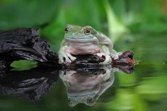 Dumpy frog, tree frog, big dumpy frog. Big dumpy frog on reflection Royalty Free Stock Photos