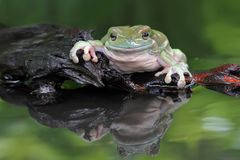 Dumpy frog, tree frog, big dumpy frog. Big dumpy frog on reflection Royalty Free Stock Photo