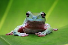 Tree frog, dumpy frog on green leaves. Dumpy frogs sitting on green leaves stock images