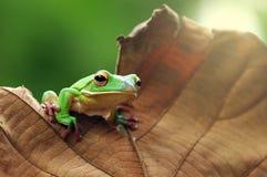 Dumpy tree frog royalty free stock photos