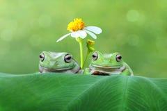 Dumpy Tree Frog Stock Photo