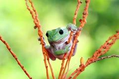Dumpy White Tree Frog Stock Images